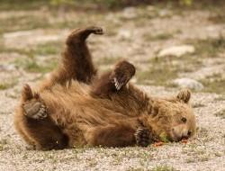 Medvék szállják meg Fehérvárt!